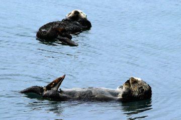 Otter by Rennett Stowe